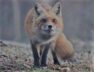 red-fox-in-the-wild-free images (2)