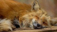 fox asleep