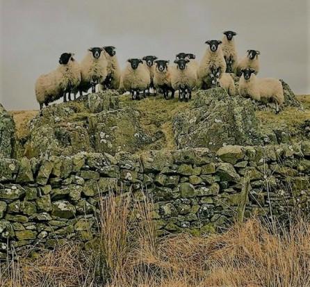 sheep3 (2)