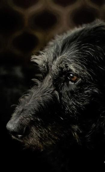 wolfhound4 (3)