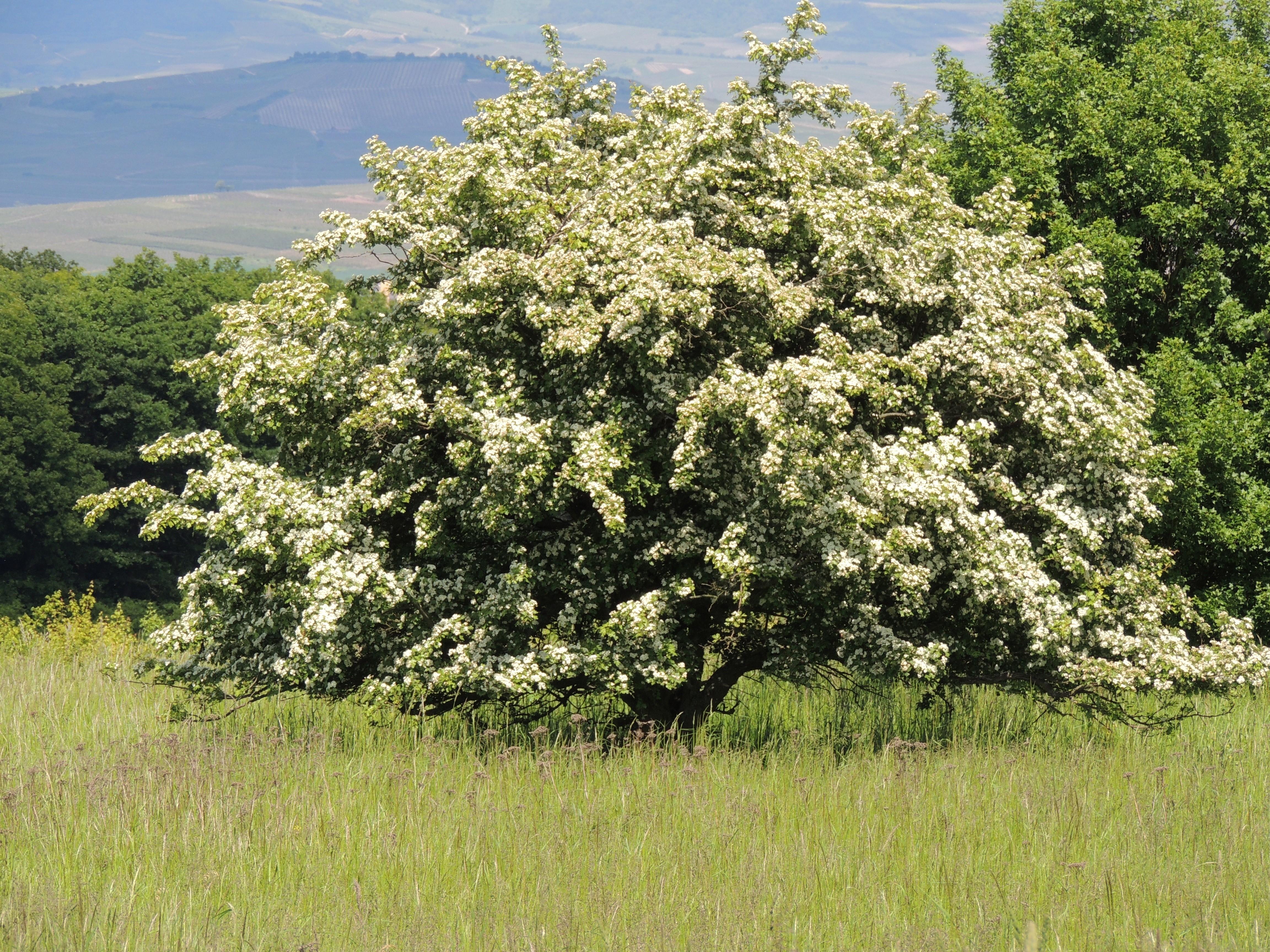 hawthorn tree2