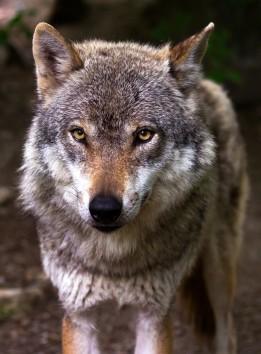 wolf-6350632